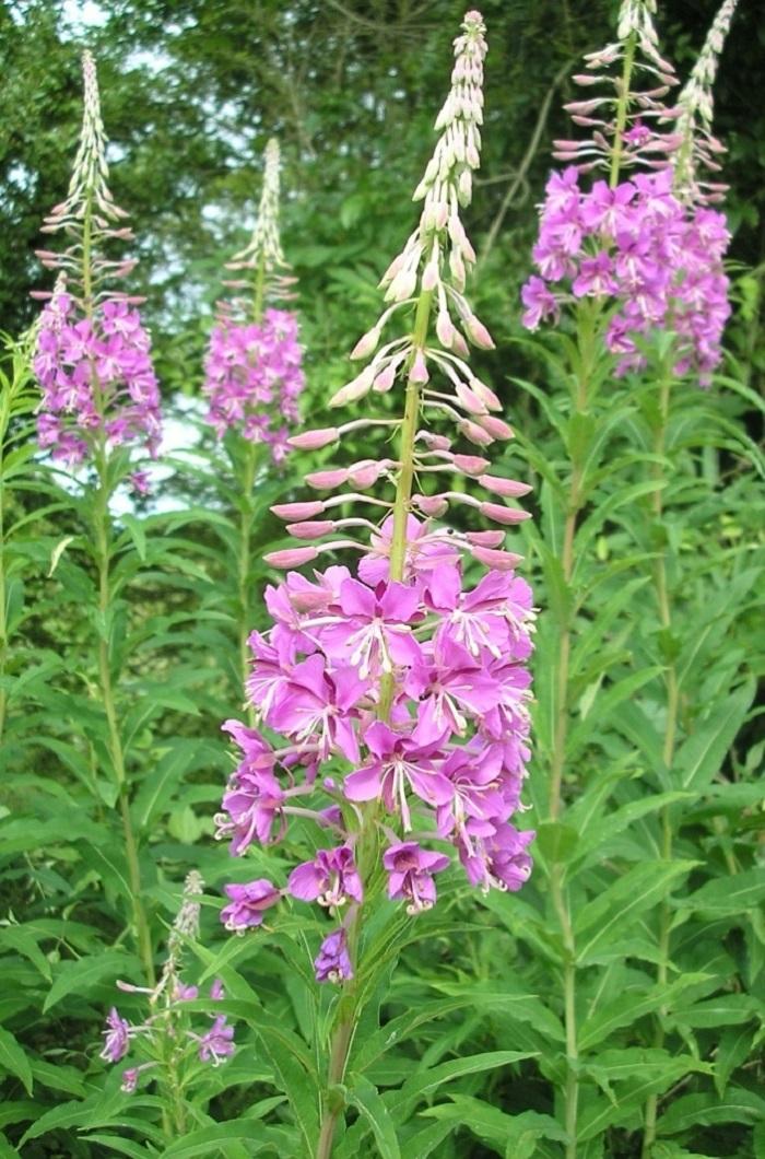 Полезные свойства цветов иван-чая