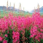 О цветке иван-чай: фото, описание, интересные факты.