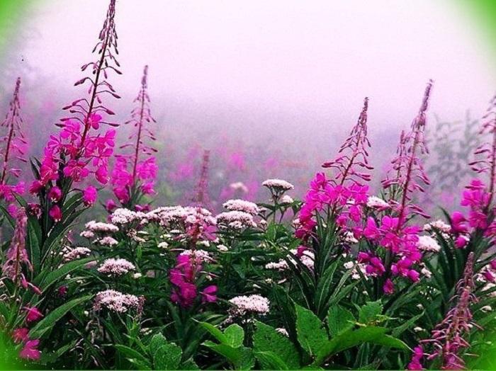 Фото иван чай цветы