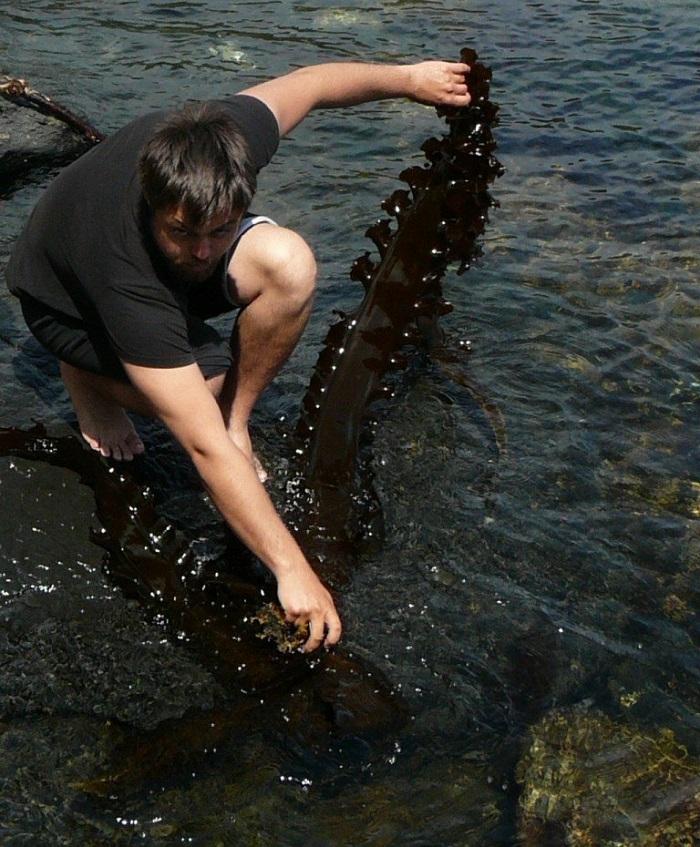 Сбор морской капусты