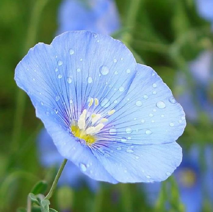 лен цветок